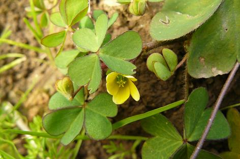 小さくて黄色の花が可愛い