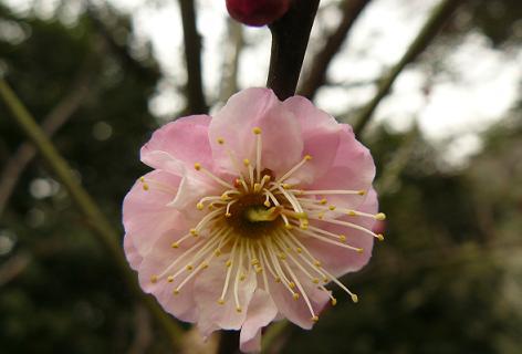 薄ピンクの梅の花