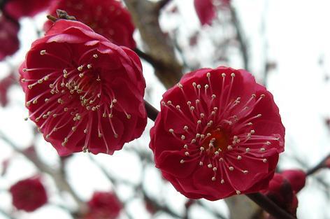 赤色の梅の花