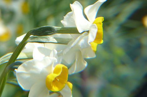 白水仙の横顔