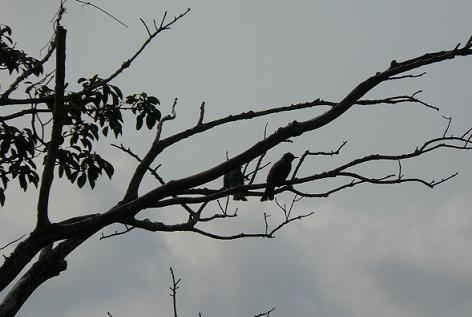 ヒヨ鳥がいっぱい