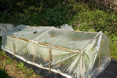 予備で植えたレタス