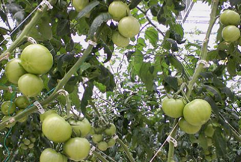 トマト工場のトマト