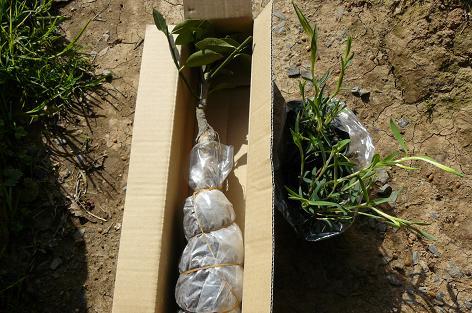 種無しキンカンぷちまると黄花ナデシコの苗