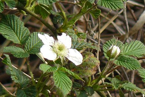 野イチゴの花