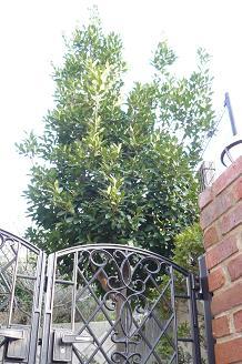 月桂樹の木 Before