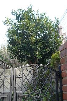 月桂樹の木 After