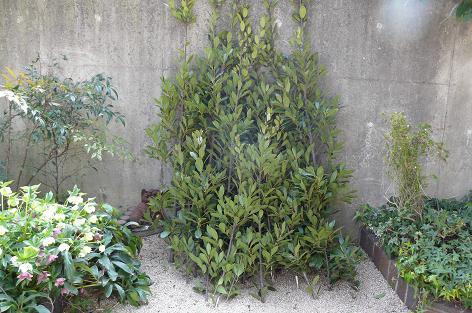 切り取った月桂樹の木
