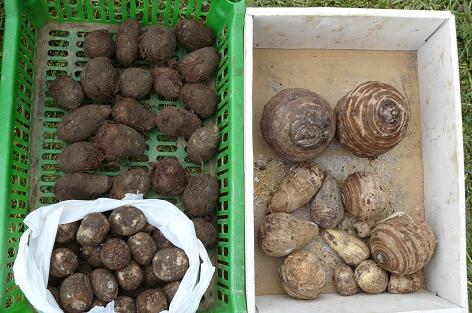 里芋の種芋