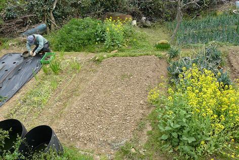 里芋の植え付け中