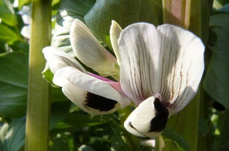 白のソラマメの花♪