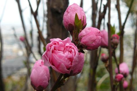 自宅庭の花桃