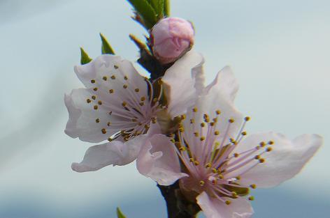 畑の桃の花♪
