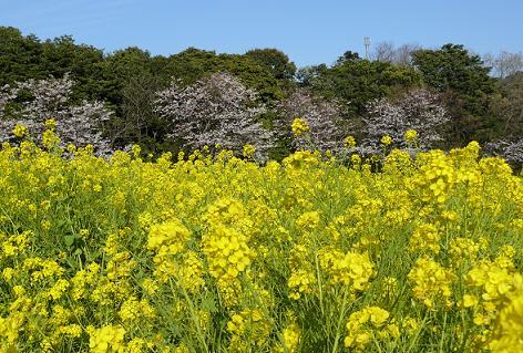 菜の花と桜♪