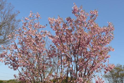 これも桜!?