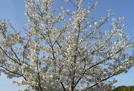 この桜は?