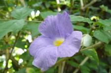 ツンベルギア 熱帯~亜熱帯