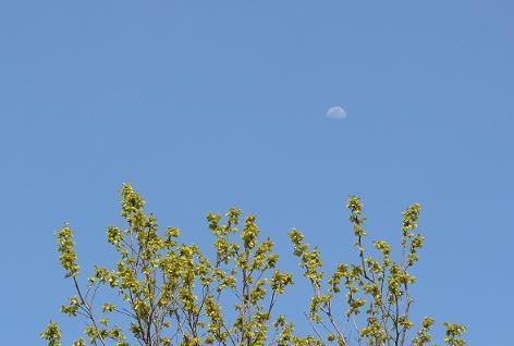 柿の新芽と月♪