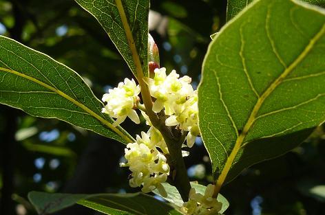 月桂樹の花♪