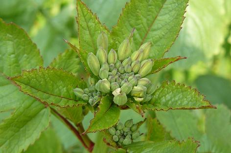 ラディッシュの花芽