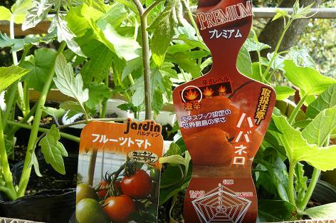 夏野菜の苗色々♪