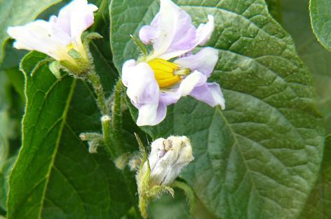 昨日クモがいたメイクィーンの花が!