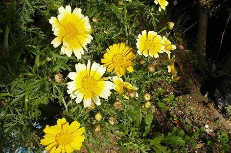 バケツで咲いた春菊の花♪