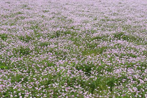 レンゲ畑♪