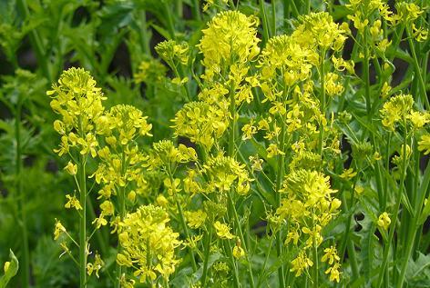 ワサビ菜の花♪
