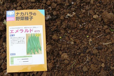 オクラの種蒔き