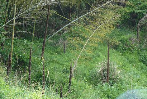 伸びた竹の子があちこちに・・・
