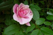 ♪淋しかった ぼくの庭に バラが咲いた♪
