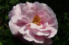 ♪たったひとつ 咲いたバラ小さなバラで♪