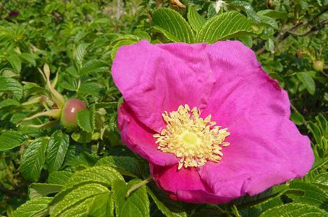 ハマナスの花と実♪