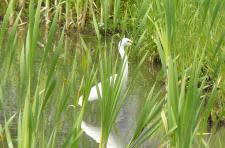 白鷺がエサを探してる・・