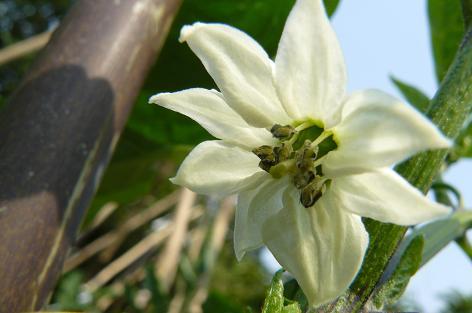 万願寺唐辛子の花♪