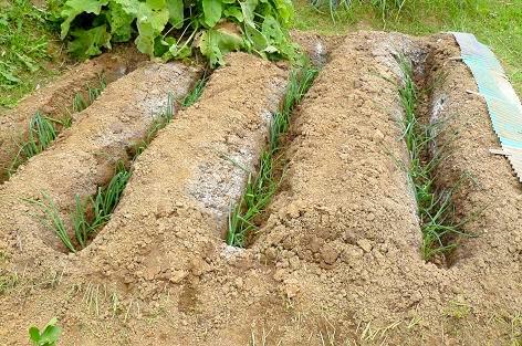 深く溝を掘って、定植だ!