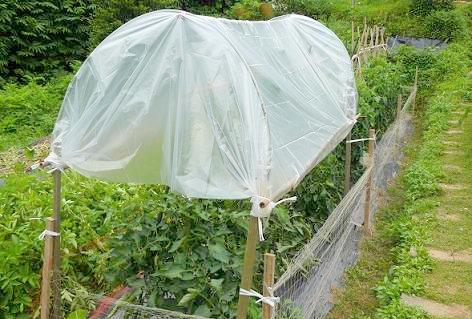 トマトに雨よけ