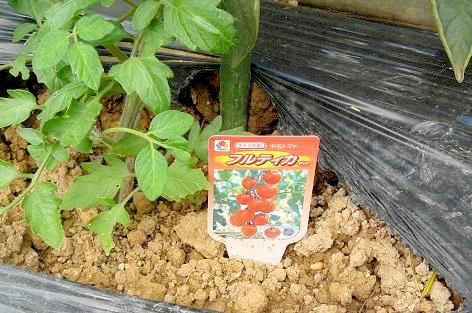 中玉トマトのフルティカ