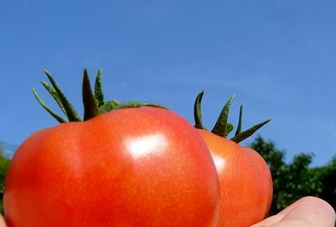 トマトが採れた!(^^)!