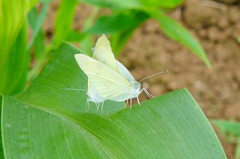 蝶のカップルが♪