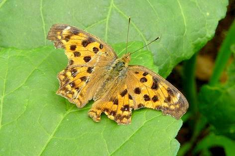 オクラに蝶?蛾?