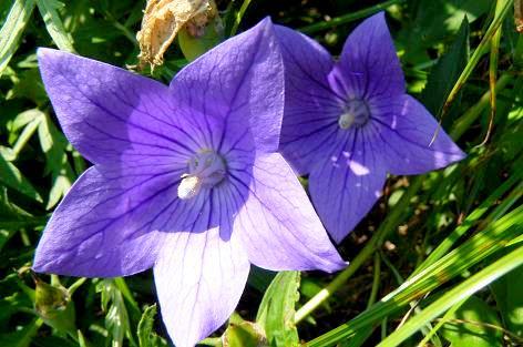 紫色の桔梗