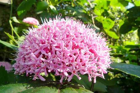 アジサイに似た花