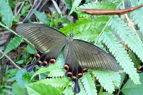 アゲハ蝶?