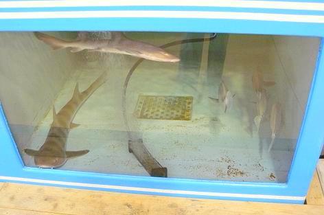 水槽にサメが・・