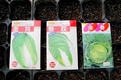 白菜・キャベツの種蒔