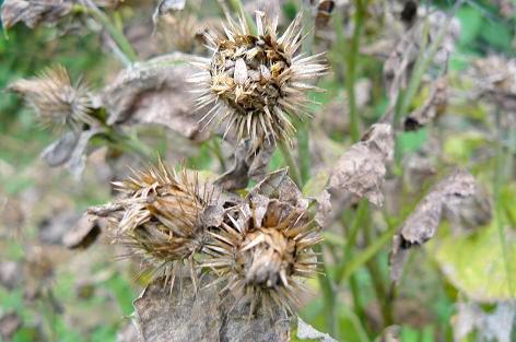 ゴボウの花ガラ