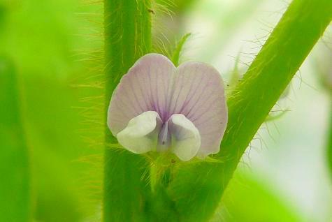 黒豆の花♪