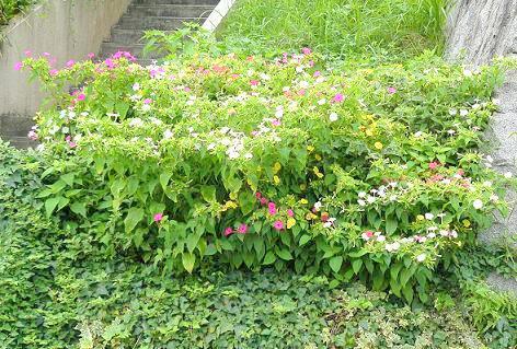 おしろい花がいっぱい♪